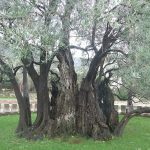 Ancient Olive tree 1