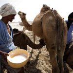 Camel Milk 1