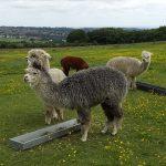 Mayfield Alpacas Animal Park 1
